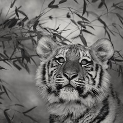 "Tg Nbg     "" what do you see ""       160122 (Eddy L.) Tags: portrait blackandwhite monochrome cub blackwhite noiretblanc tiger nuremberg sw biancoenero blanconegro pantheratigrisaltaica amurtiger aljoscha sibirischertiger jungtier volodya tiergartennrnberg schwarzweis 25faves 6monatealt ussuritiger sonyphotographing minoltaafreflex500 tiergartenfreundenrnbergev"