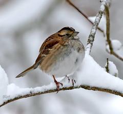 White-throated Sparrow (BIRD NERD - Marigami) Tags: ny birds snowstorm whitethroatedsparrow