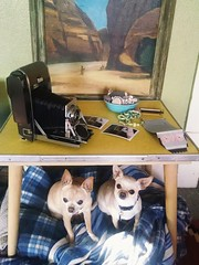#AnalogProblems :When your camera is bigger than (most of) your dogs (EllenJo) Tags: camera pets simon dogs chihuahuas floyd digitalimage motox olddog cameraporn cellphonephoto bigcamera youngdog motorolax polaroid110a ellenjo analoglove vintagepolaroidcamera ellenjoroberts bornin2003 polaroidpathfinder polaroid110a110b bornin2013 twinsborn10yearsapart analogproblems