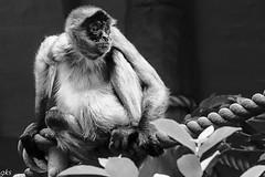 tarangozoo 358 (gks18) Tags: canon zoo monkey sydney australia