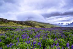 Colors of Iceland (luke.switzerland) Tags: travel mountains flower nature colors landscape iceland nikon d600