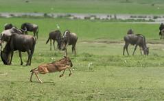 _DSG7516.jpg (sylvainbenoist) Tags: nature ngorongoro animaux sites tanzanie gnou mammifères bovidés alcélaphinés