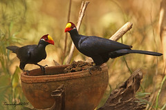 VIOLET TURACO / GAMBIA / 2015 (Tom Webzell) Tags: naturethroughthelens