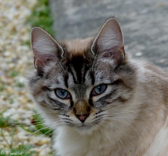 Cat Portrait (Mystycat =^..^=) Tags: portrait animal cat feline chat kitty gato katze gatto flin