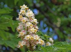Fleur de marronnier . (PACHA23) Tags: marronnier