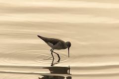 Golden waters (The Original Happy Snapper) Tags: uk sunlight detail bird water beauty animal sunrise canon7dmkii