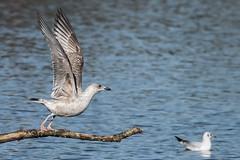 Lesser Black Back Gull (immature) Feb 2016 (10) (jgsnow) Tags: bird seabird gull lesserblackback ngc