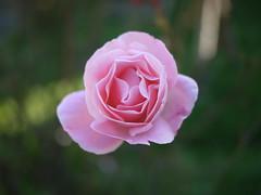 OPC 161115 024 (Jusotil_1943) Tags: rosa desenfoque selectivo opc161115