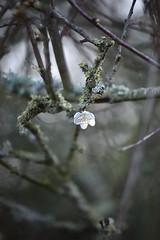 Alone again ... naturally (PhilDL) Tags: winter beauty countryside nikon blossom branches hampshire single bloom twigs amateurs englishcountryside blackthorn singular hampshireuk nikonuk weirdwinter
