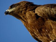 Stare (!!sahrizvi!!) Tags: wild kite nature birds fly wings wildlife beak birdofpray