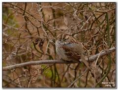 White-throated Sparrow (Zonotrichia albicollis) (Slomoz) Tags: bird arkansas ozarks whitethroatedsparrow zonotrichiaalbicollis ozarkmountains arkansasozarks