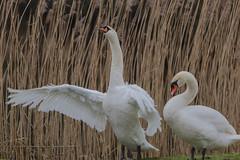 De knobbelzwaan (Cygnus olor) (Rudaki1959 thanks for looking) Tags: bird nature birds animal swan wildlife natuurmonumenten earthnaturelife