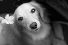 IMG_0567 (yukichinoko) Tags: dog dachshund 桜 sakura 犬 kinako ダックスフント ダックスフンド きなこ