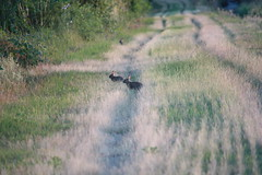 Lepri (Agne's) Tags: parco del ticino pavia campi lepre