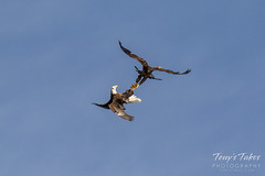 Bald Eagles battle for breakfast - Sequence - 29 of 42