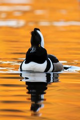 Chubby face (Adam Wang) Tags: reflection bird nature duck ripple wildlife wave hoodedmerganser