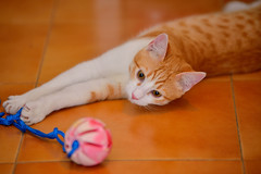 Gato Jinks  (7) x (adopcionesfelinasvalencia) Tags: gato jinks