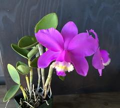 Cattleya loddigesii 'Rosminah' AM/AOS (cieneguitan) Tags: orchid flower flora lan species ran orkid okid angrek anggerek