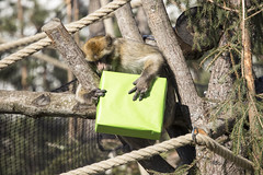 Barbary Macaques got presents for enrichements (Korkeasaaren elintarha) Tags: animals zoo korkeasaari zooanimals barbarymacaque helsinkizoo elintarha macacasylvanus hgholmen djurgrd berberiapina korkeasaarenelintarha hgholmensdjurgrd