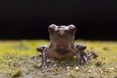 IMG_2813-0(W) Smooth Wart Frog (Theloderma licin). (Vince_Adam Photography) Tags: wildlife amphibian malaysia frogs herps katak amfibia rhacophoridae herpertology frogsofmalaysia frogsofsoutheastasia kataklicin smoothfrog wartedfrog thelodermalicintheloderma hepentofauna