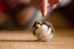 Silence please (Conchilla Mrquez Gmez) Tags: red pet flickr raton manos silence patas hamster miedo dedo silencio robo poder ruso orejas castigado noescucho taparorejas
