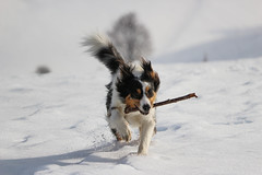 Just Run (PH-AC) Tags: wood dog snow game cane speed canon play australian run stm sheperd 55250stm