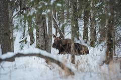Don't worry buddy, they'll grow back (Eisbier) Tags: tree animal alaska nikon wildlife moose anchorage urbanwildlife d750