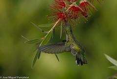3-SEGUNDA ESPECIE DE AVE MAS PEQUEÑA DEL MUNDO Y SOLO SUPERADA POR EL MELLISUGA HELENAE O ZUNZUNCITO DE CUBA. (Cimarrón Mayor !!!7,000.000 DE VISITAS, GRACIAS!!) Tags: naturaleza bird fauna libertad hummingbird dominicanrepublic pássaro ave oiseau libre vogel montañas callistemon caribe uccello panta ptak fågel lintu cepillo repúblicadominicana птица dominicano ptica πουλί quisqueya repdominicana птах ptáček calistemo zumbadorcito familiatrochilidae libertee cimarrónmayor canoneos7dmarkii 7dmarkii ordenapodiformes josémiguelpantaleón canon7dmarkii telefoto700mm lugardecapturacordilleracentral nombreinglesvervainhummingbird generomellisuga nombrecientíficomellisugamínima nombrecomúnzumbadorcito statussegundaespeciedeavemaspequeñadelmundosolosuperadaporelmellisugahelenae zunzuncitodecuba 2ªespeciemáspequeñadelmundo