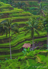 Hut Below The Rice Terraces (Sound Quality) Tags: bali indonesia baliindonesia tegallalang terrace riceterrace rice palm trees palmtrees hut straw strawhut banana jungle mountain mountainscape travel asia balinese maylay green plants outdoors spring peaceful wwwmichaelwashingtonaecomhttpwwwflickrcomphotosmichaelwashingtonphotography landscape plant serene outdoor field steps stepped grass farming farm food agriculture