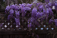 Wisteria - Garden Update in Spring Twilight (takasphoto.com) Tags: flower nature garden fuji blossom gardening outdoor flor lifestyle bloom fujifilm 1855mm 1855  plantae greenplants blte  fujinon wisteria  hoa wysteria xochitl   xf floweringplant  wistaria     angiosperms kingdomplantae xe1  apsc  mirrorless     mirrorlesscamera fujixe1 fujinonxf1855mmf284rlmois  exrpro xtranscmossensor xtranscmos