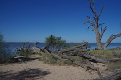 An amazing survivor, Pelican Point, Lake Bonney, near Barmera, SA, 15/02/16 (Russell Cumming) Tags: plant eucalyptus southaustralia myrtaceae barmera renmark eucalyptuscamaldulensis lakebonney pelicanpt