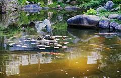 Self reflection (PeterThoeny) Tags: california lake fish reflection green nature water rock japan stone japanesegarden pond raw crane outdoor turtle saratoga koi hdr waterreflection hakonegardens photomatix fav100 1xp nex6 sel50f18