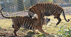 sumatran tiger bugerszoo JN6A5457 (j.a.kok) Tags: tiger sumatrantiger tijger burgerszoo pantheratigrissumatrae sumatraansetijger