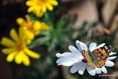 DSC_0129 (rachidH) Tags: flowers vanessa nature cosmopolitan blossoms egypt butterflies insects bee cairo papillon daisy blooms dame africandaisy cynthia paintedlady osteospermum vanessacardui blueeyeddaisy vanessedeschardons labelledame vanesse rachidh