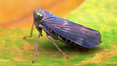 Coelidia olitoria coppery leafhopper (Tibor Nagy) Tags: macro closeup bug leaf flash softbox diffuser diffused leafhopper coelidia olitoria
