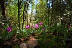 red and green (babajuanne) Tags: primavera bosco sottobosco ciclamini rossoeverde