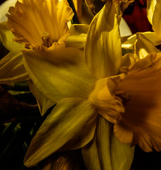 Daff Petals March 2016 (GOR44Photographic@Gmail.com) Tags: flower macro yellow petals daffodil fujifilm xf1 gor44