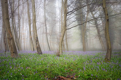 Le rveil des elfes bleues (Thomas Vanderheyden) Tags: blue light france flower tree green nature fleur fog forest landscape artistic lumire ngc violet vert bleu fujifilm paysage foret arbre brouillard brume picardie naturesfinest beautifulearth xt1 thomasvanderheyden