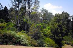 Ooty: Tree Park (deepgoswami) Tags: india tree tamilnadu ooty coonoor treepark