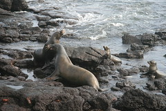 IMG_7619 (chupalo) Tags: sealions lavarocks islasplaza