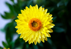 Lonesome but beautiful (Pensive glance) Tags: plant flower nature fleur plante aster strawflower everlasting immortelle