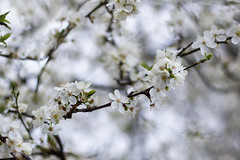 ... thinking mono i - white (jane64pics) Tags: flowers white flower nature spring naturallight floraandfauna hawthorn gcc springtime whiteblossoms hawthornblossom greystonescameraclub janefriel janefriel2016 thinkingmonoiwhite