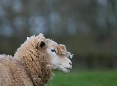 Bad Hair Day (Mukumbura) Tags: wool sheep farm fringe badhairday ewe