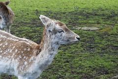Golders Hill Park, London, United Kingdom (Tiphaine Rolland) Tags: park uk greatbritain england london nikon unitedkingdom deer londres gb angleterre 1855mm 1855 parc daim 2016 goldershillpark royaumeuni grandebretagne d3000 nikond3000