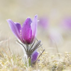 Just  a few week left (BirgittaSjostedt.) Tags: wild plant flower nature pastel depthoffield serene highkey ie pasque commonpasque innamoramento magicunicornverybest birgittasjostedt