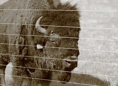 Buffalo, Fermilab. 2 (EOS) (Mega-Magpie) Tags: usa sepia america canon fence outdoors eos illinois buffalo outdoor dupage il batavia kane fermilab winfield bison 60d