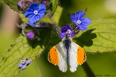 st clements (blackfox wildlife and nature imaging) Tags: macro closeup canon wildlife butterflies insects handheld wirral rspb orangetip 80d burtonmerewetlands sigma150600mmossport