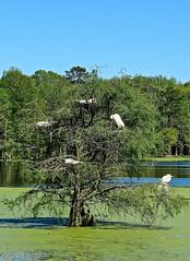 Egret Rookery (LastNitesFun) Tags: southcarolina rookery egrets nests greategrets audubonswampgarden