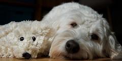 Twins Switched at Birth :)) (fehlfarben_bine) Tags: friends dog sunlight twins eyecontact chilling teddybear softandcuddly labrardoodle nikondf