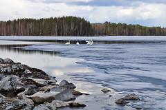 Spring In Finland (s.niemelainen) Tags: lake ice nature suomi finland landscape north maisema luonto jrvi j karjala hytiinen kontiolahti carelia pohjois puntarikoski hiknniemi